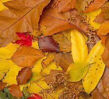 Autumn leaves by neilborman