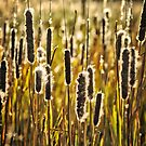 Outer Banks Cattails by Robin Black