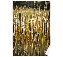 Outer Banks Cattails Poster