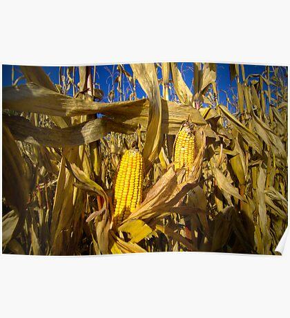Corn on the Cob Poster