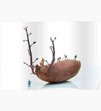 Cultivation on a sweet potato Poster