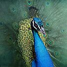peacock by lucyliu