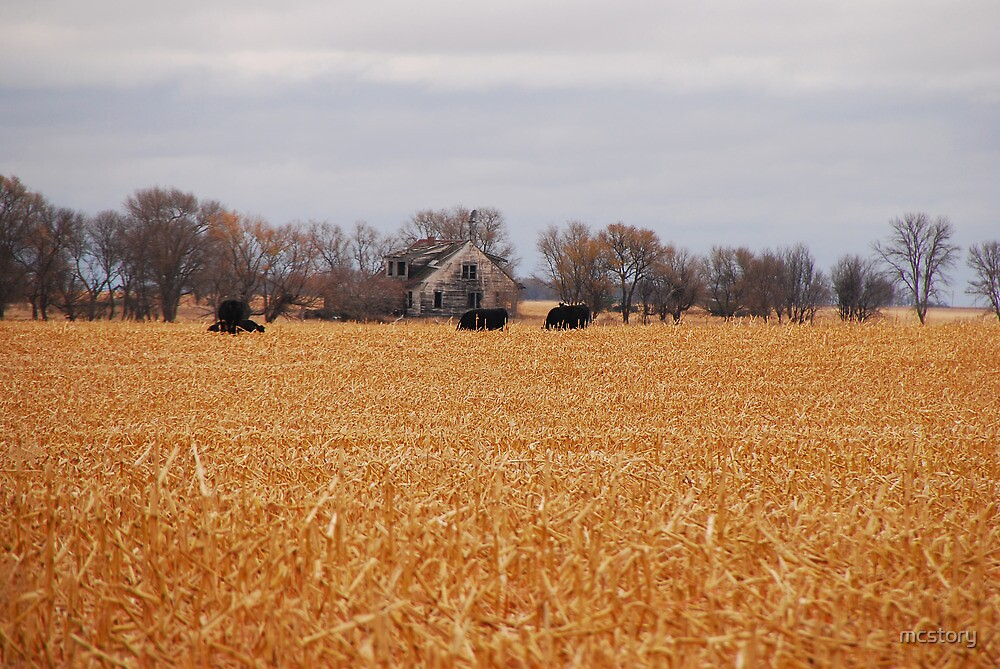 Cows In The Corn by mcstory