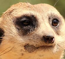 At the Zoo - Meerkat Close Up by Sally Haldane