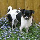 Ollie the Chihuahua amongst the lobelia by pinkyboy