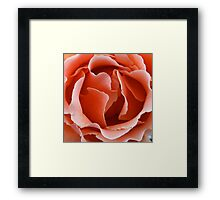 Apricot blush Framed Print