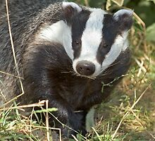 Being a badger by Anthony Brewer