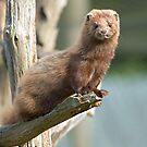 Mink sees all by Anthony Brewer