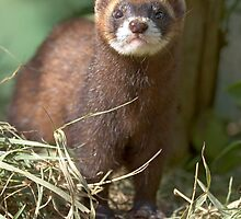 Path of the polecat by Anthony Brewer