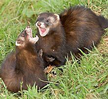 Duet in the key of polecat by Anthony Brewer