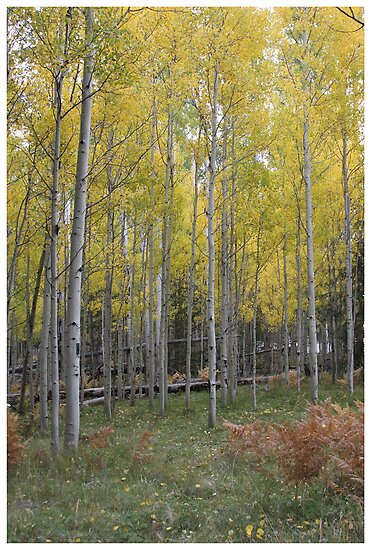 Aspens yellow glow by ruth  jolly