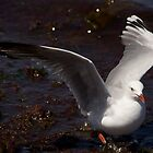 Sea Gull  by David Toolan