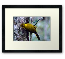 The Golden Bower Bird Framed Print
