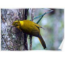The Golden Bower Bird Poster