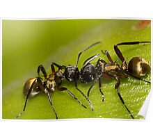 Golden-tailed Spiny Ant Poster