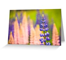 Lupin Flowers, Norway Greeting Card