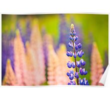 Lupin Flowers, Norway Poster