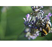 Bee on lavanda flower Photographic Print