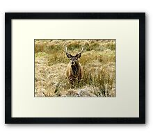Stag Feeding Framed Print