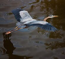 Great Blue Heron Flight, Jordan Lake, NC by Denise Worden