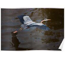 Great Blue Heron Flight, Jordan Lake, NC Poster