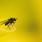 just a fly ... by jean-jean