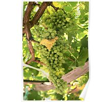 A Bunch Of White Grapes Poster