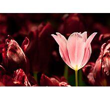 Glowing Tulip Photographic Print