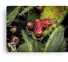 Fruit of the Opuntia ficus-indica cactus Canvas Print