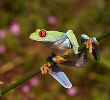 Red eyed tree frog on a stalk by Angi Wallace
