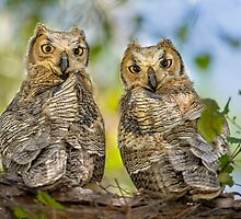 Great Horned Owlets by Daniel  Parent
