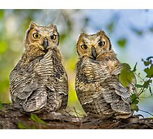 Great Horned Owlets Photographic Print