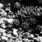 Succulent Pebbles by DoreenPhillips