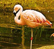 Caribbean flamingo by Thad Zajdowicz
