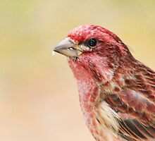Purple finch head shot by Penny Rinker