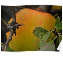 Apples for cider Poster