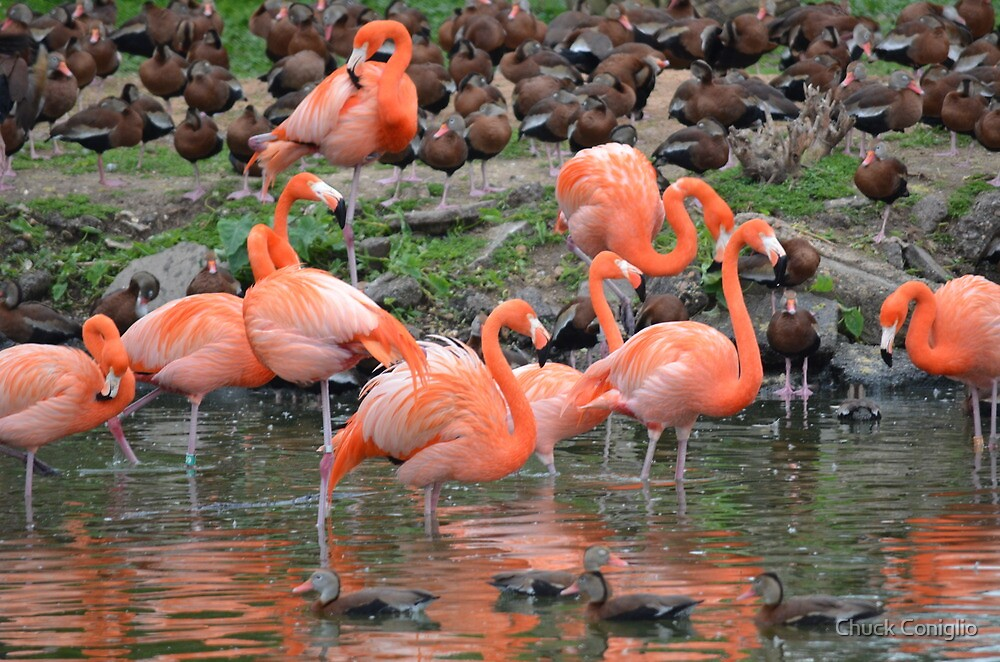 Flamingos and Ducks Flocking Together by Chuck Coniglio