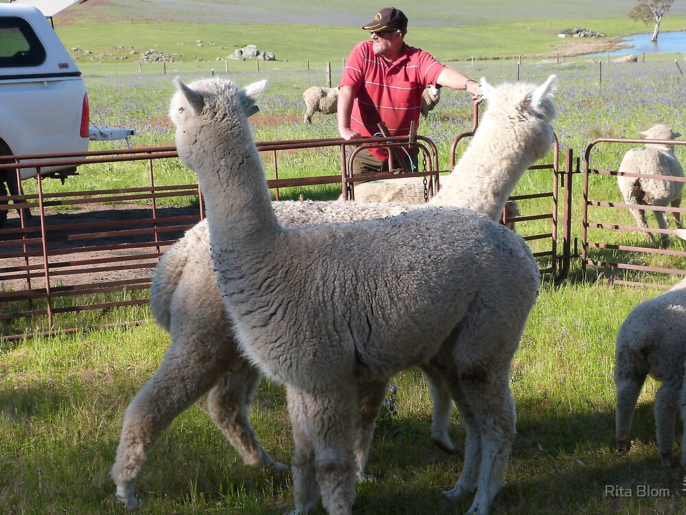 'YOU WATCH OVER THERE & I'LL WATCH OVER HERE'! Alpaccas on the job. by Rita Blom