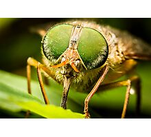 Common March Fly #2 Photographic Print