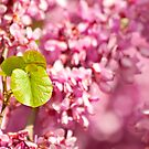 Judas Tree  by Kuzeytac