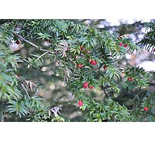 Yew'll Have A Merry Christmas Photographic Print