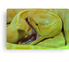 Albino Burmese Python Canvas Print