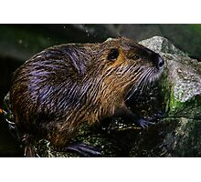 Beaver On The Rocks Photographic Print