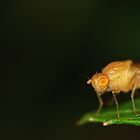 Fruit fly watching the World by Martina Kausch