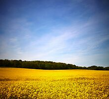 Rapeseed field with blue sky by Phillip Shannon