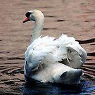 Mute Swan by Colin Shepherd