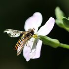 Hoverfly 2 by cuprum