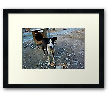 Blue-eyed Sled Dog Framed Print
