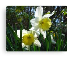 Dainty Daffs Canvas Print