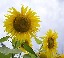 Sunflowers by pcbermagui